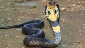cobra kills chef after he cut it's head off!